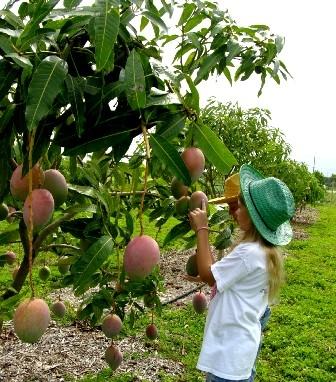 Манго дерево в домашних условиях выращивание