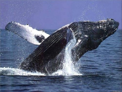 Как киты занимаются сексом фото фото 57-381